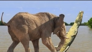 Video: Animal Moms Protecting Their Babies - Elephant Saves her Calf from Crocodile